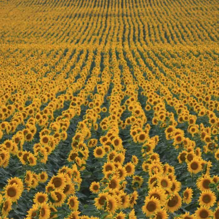 Three spectacular sunflower fields to visit now